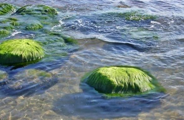 स्पिरुलिना के नुकसान - Spirulina ke Nuksan in Hindi