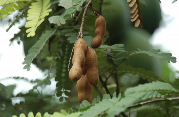 इमली के पत्ते का उपयोग करें स्कर्वी का इलाज - Tamarind Leaves Cures Scurvy in Hindi